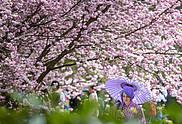 Kirschblütenfest zur IGA